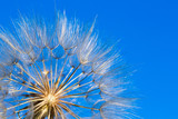dandelion seeds close up blowing in blue background