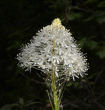 Bear Grass, Xerophyllum tenax is a North American species of plants in the corn lily family. It is known by several common names -bear grass, squaw grass, soap grass, quip-quip and Indian basket grass