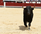 toro negrp en españa