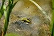 Frog sits on the stones in the water on a blurred background of aquatic plants. The eyes of the frog peek out from under the water and idly look up. Close-up. Frog in natural habitat.