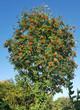 Leinwanddruck Bild - Vogelbeerbaum, Eberesche, Sorbus, aucuparia