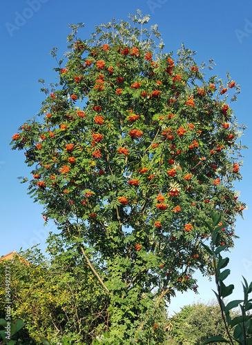 Leinwanddruck Bild Vogelbeerbaum, Eberesche, Sorbus, aucuparia