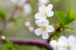 Quadro Flowers on the branches of cherry in spring