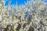 Beautiful cherry blossoms in spring over clear blue sky