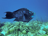 Midnight Parrotfish on a Tropical Reef