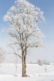 Einzelner Baum im Nebel mit Raureif bedeckt - 249561729
