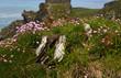 Leinwanddruck Bild - flowers in a castle background- Tintagel - Cornwall - UK