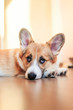 Leinwanddruck Bild - funny portrait of cute little red puppy dog Corgi lying on the floor and looking dreamy and with sad eyes up