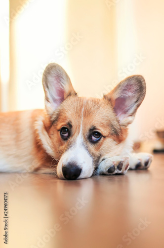 Leinwanddruck Bild funny portrait of cute little red puppy dog Corgi lying on the floor and looking dreamy and with sad eyes up