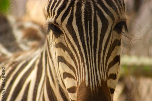 Mirada tierna de jirafa