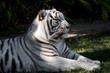 this is a side view of a white tiger