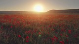 Flight over field of red poppies at sunset. Beautiful flowers and spring nature composition. - 249639517
