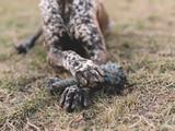 Dog legs holding dog toy