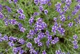 Lavender flowers blooming in the garden, beautiful lavender field.