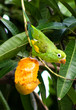 Quadro Periquito comento manga - Parakeet eating mango