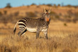 Cape mountain zebra (Equus zebra) in natural habitat, Mountain Zebra National Park, South Africa.