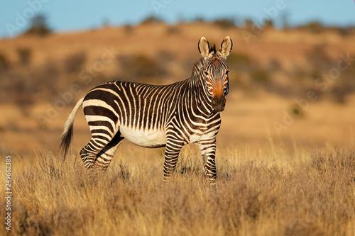 Cape mountain zebra (Equus zebra) in natural habitat, Mountain Zebra National Park, South Africa. - 249662385