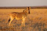 Plains zebra (Equus burchelli) in late afternoon light, Mokala National Park, South Africa.