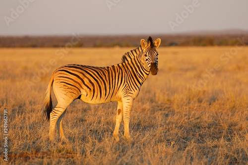 Plains zebra (Equus burchelli) in late afternoon light, Mokala National Park, South Africa. - 249662791