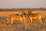 Plains zebras (Equus burchelli) in late afternoon light, Mokala National Park, South Africa.