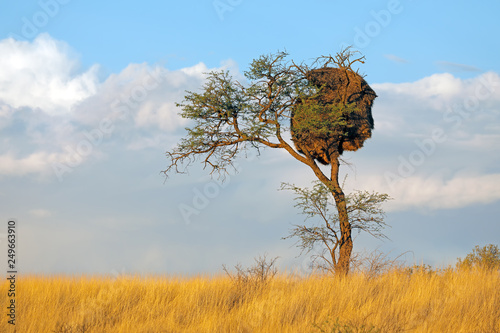African thorn-tree with communal nest of sociable weavers (Philetairus socius), Kalahari, South Africa.