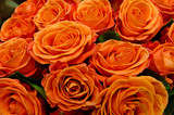 beautiful red roses, a lot of roses as a background