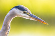Leinwanddruck Bild - Grey heron close up of head