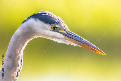 Leinwanddruck Bild Grey heron close up of head