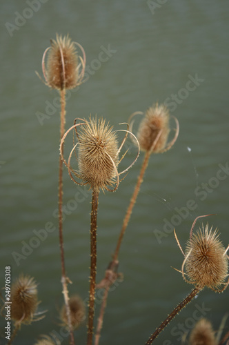 dry thistle in winter - 249705308