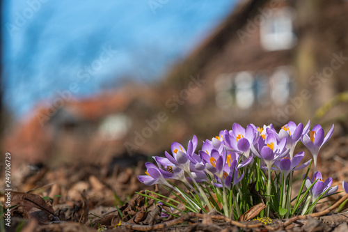 Leinwanddruck Bild Krokusse im weiträumigen Garten vor einem Wohnhaus unter blauem Himmel
