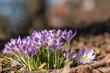 Leinwanddruck Bild - Krokusse mit Biene im Frühling vor einem Wohnhaus im Park