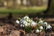 Leinwanddruck Bild - Schneeglöckchen im Frühling am Waldrand