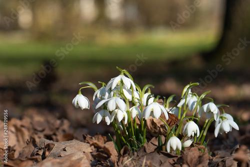 Leinwanddruck Bild Schneeglöckchen im Frühling am Waldrand