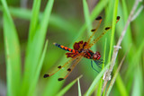Calico Pennant Dragonfly on Leaf in Summer - 249720169