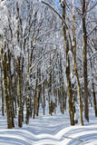 road through the winter snowbound beech forest - 249721760
