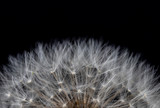 dandelion fragment on black background