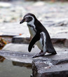 Humboldt Penguin on the rock
