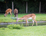 two deer and a wild goat on the river bank