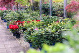 Assortment of blooming azaleas and rhododendrons in flower pots in garden center shop. Selective focus. Spring season sale.