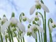 Leinwanddruck Bild - Schneeglöckchen unter blauem Himmel läuten den Frühling ein