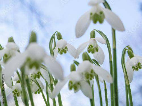 Leinwanddruck Bild Schneeglöckchen unter blauem Himmel läuten den Frühling ein