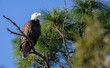 Bald Eagle watches majestically