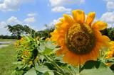 sunflower in field of sunflowers