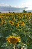 Sunset landscape of sunflower field at Kazanlak Valley, Stara Zagora Region, Bulgaria
