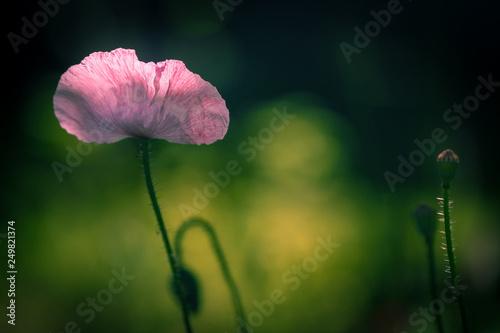 Pink poppy flower in sunlight at summer garden against dark background. - 249821374