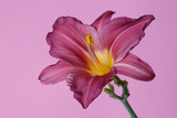 Elegant lilac daylily flower isolated on a pink background. - 249824503