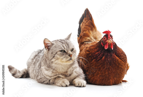 Cat and chicken.