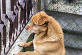 dog looking through a chain link fence - 249845337