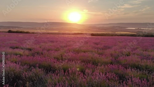 Aerial nature landscape video. Flight over lavender meadow at sunset. Agriculture industry scene. Nature 4k scene composition.
