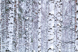Beautiful winter birch forest